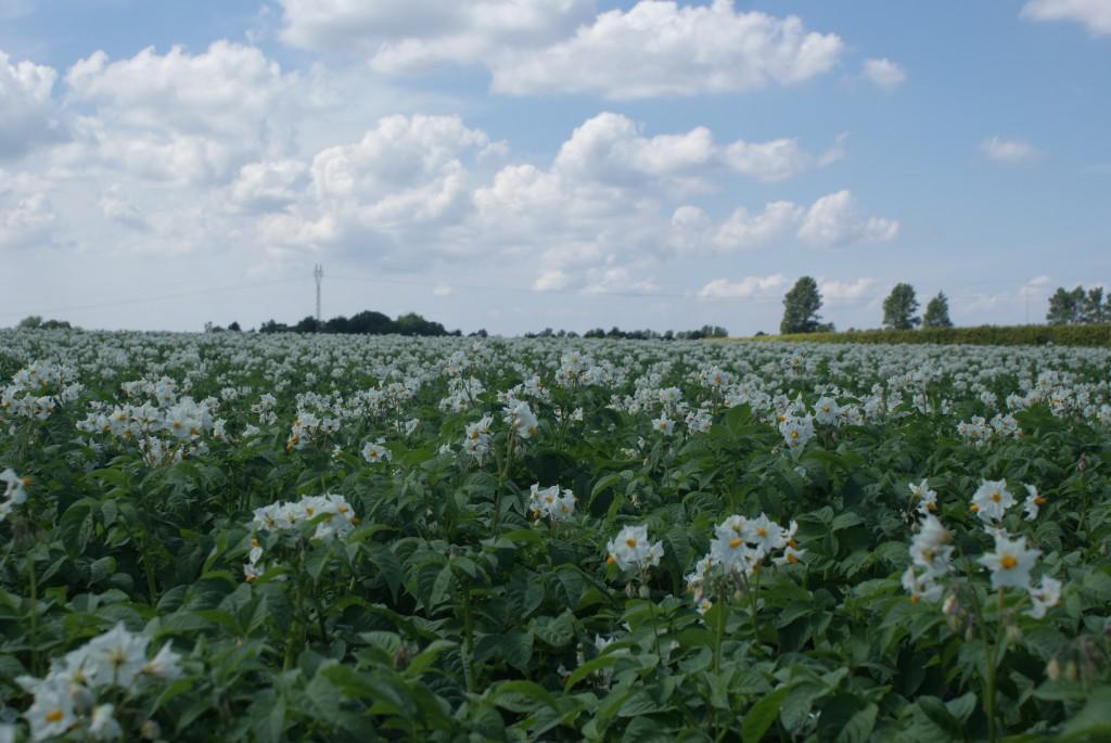 Blomsterne kartofler