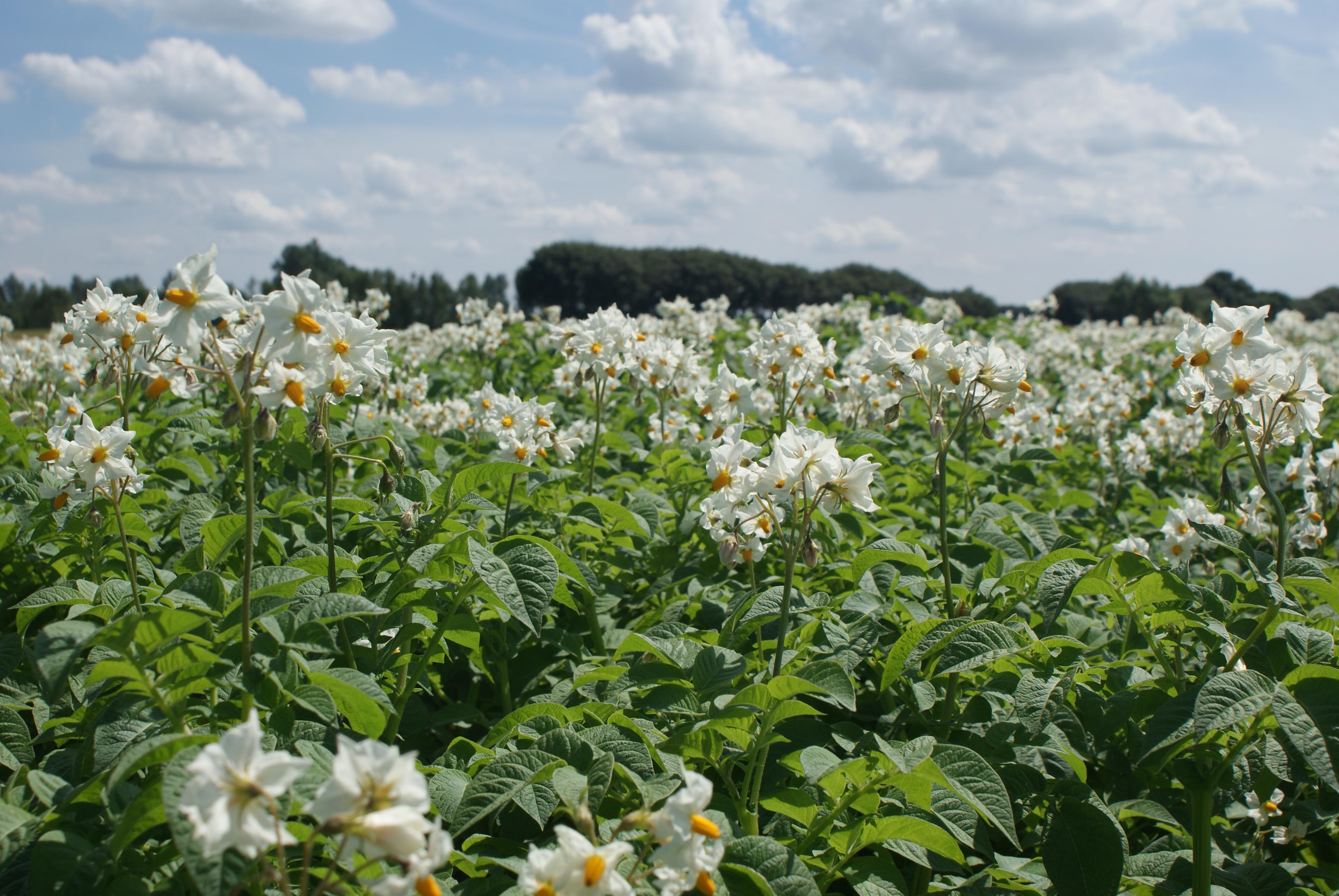Kartoffelmark 2012